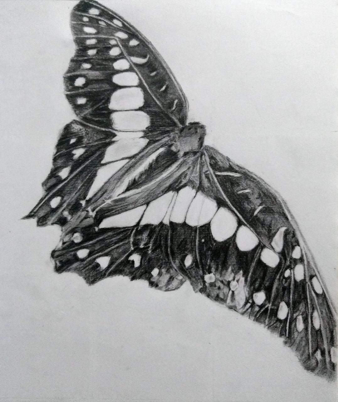 Butterfly Sketch by Ankita Pisat